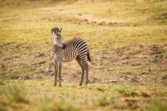 Foal della zebra Immagine Stock Libera da Diritti