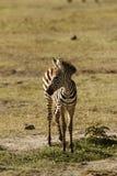 Foal della zebra Fotografie Stock Libere da Diritti