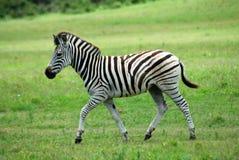 Foal della zebra Immagine Stock