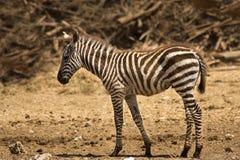 Foal della zebra del Grant Immagini Stock Libere da Diritti