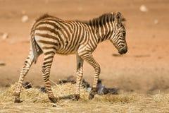 Foal della zebra del Grant Fotografie Stock Libere da Diritti
