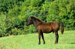 Foal dello Stallion Fotografia Stock Libera da Diritti