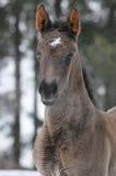 Foal di Hannoverian in inverno Fotografie Stock Libere da Diritti