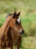 Foal di Lingua gallese Immagini Stock