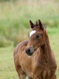 Foal di Lingua gallese Fotografia Stock Libera da Diritti