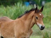 Foal di Lingua gallese Fotografia Stock