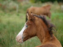 Foal di Lingua gallese Fotografie Stock