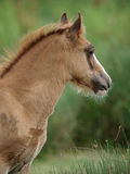 Foal di Lingua gallese Immagini Stock Libere da Diritti