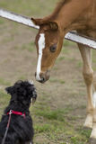 Foal and dog Royalty Free Stock Image