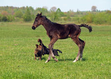 Foal and dogs Stock Image