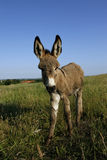 Foal donkey (Equus africanus f. asius) Royalty Free Stock Image