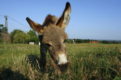 Foal donkey (Equus africanus f. asius). Donkey foal at green meadow with blue sky Stock Photo