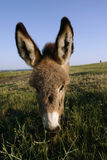 Foal donkey (Equus africanus f. asius). At meadow in summer Stock Photo