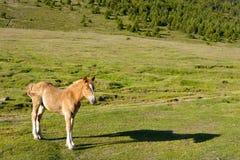 Foal dorato che snoozing in mattina in anticipo della sorgente Fotografia Stock