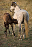 Foal drinking his mother's milk Stock Photos