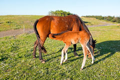 Foal drinking from mare on a summer pasture Stock Image