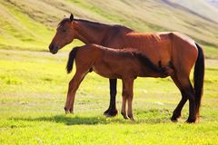Foal drinking milk Stock Images