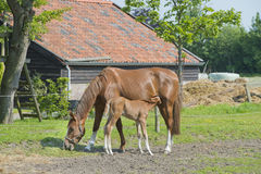 Foal drinking milk Royalty Free Stock Photo