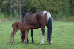 Foal drinking mothers milk Stock Photo