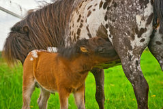 Foal drinking mothers milk Royalty Free Stock Photography