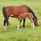 Foal drinks from mare in green grassy meadow sq Stock Photography