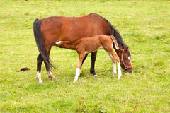 Foal drinks from mare in meadow Royalty Free Stock Image
