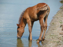 The foal drinks water from lake. The foal drinks water on sandy coast from lake. Keeping our environment clean Royalty Free Stock Photo