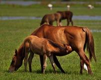 Foal e cavalla Immagine Stock