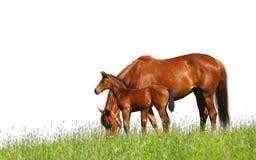 Foal e cavalla Fotografia Stock
