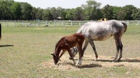 Foal eat hay stock video footage