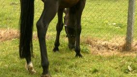 Foal eating grass in field stock footage