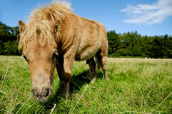 Foal is eating grass Royalty Free Stock Photography