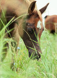 Foal eating  grass at the pasture.  close up.  Royalty Free Stock Images