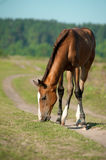 Foal is eating grass Royalty Free Stock Image