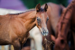 Foal eating hay Royalty Free Stock Photos