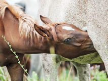 Foal eating  mom at the pasture.  close up.  Stock Image