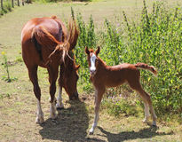 A Foal in an english meadow Royalty Free Stock Photography