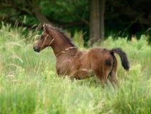 Foal in erba lunga Immagine Stock