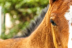 Foal eye. A brown foal with a sad eye Royalty Free Stock Images