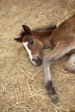 Foal in a farm stable Royalty Free Stock Image