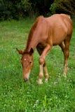 Foal feeding Royalty Free Stock Photo
