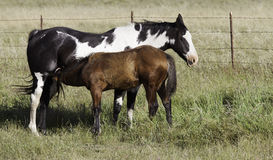 Foal feeding with Mare Stock Image