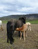 Foal feeding on mother`s milk.  royalty free stock image
