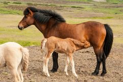 Free Foal Feeding On Mother`s Milk Stock Photography - 121155752