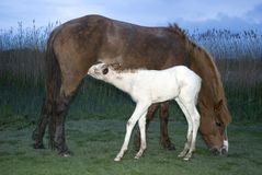 A foal feeding from it`s mother Stock Photography