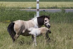 Foal feeding from miniature mare. Foal feeding from sturdy beige and white miniature mare standing in high grass Stock Photography