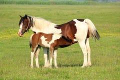 Free Foal Feeding With Milk Stock Image - 19839811