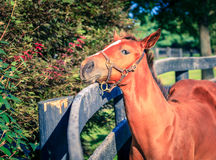 Foal by the fence Royalty Free Stock Image