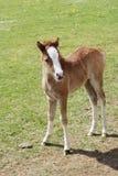 Foal in field Royalty Free Stock Image