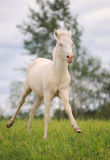 Foal in the field Royalty Free Stock Photo